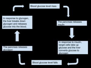 Homeostasis - Controlling blood sugar levels